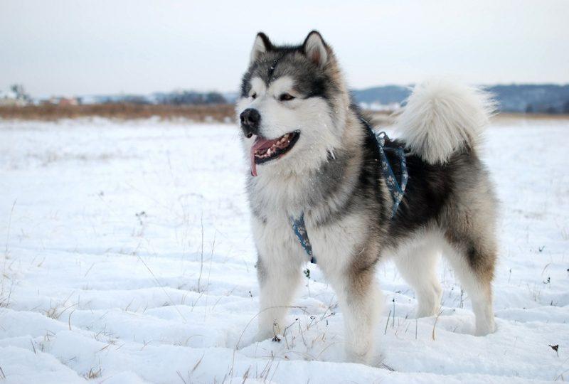 Quelles races de chiens sont adaptées aux grands froids ?